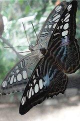 Schmetterling: Brauner Segler - Schmetterling, Edelfalter, tropische Falter, Brauner Segler, Parthenos sylia, braun, fliegen, Schmetterlingspark, Spiegelung, Symmetrie