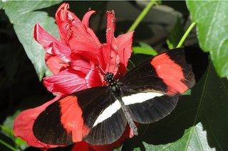 Schmetterling: Postmann-Falter - Schmetterling, Edelfalter, tropische Falter, Heliconius melpomene, fliegen, Schmetterlingspark