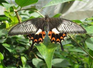 Schmetterling: Weiße Rose - Schmetterling, Papilionidae, tropische Falter, Weiße Rose, schwarz, fliegen, Schmetterlingspark, Australien, Insekt