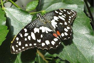 karierter Schwalbenschwanz - karierter Schwalbenschwanz, Papilio demoleus, Ritterfalter, Insekt, Chequered Swallowtail
