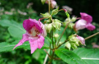 Drüsiges Springkraut #2 - Springkraut, Impatiens glandulifera, Balsaminengewächs, Neophyt