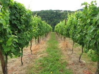 Weinberg  - Weinberg, Weinstock, Weißwein, Mosel