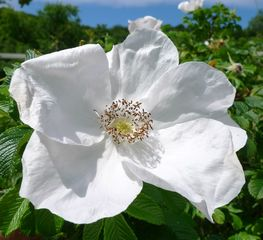 Heckenrose - Heckenrose, Hundsrose, Wildrose, Hagrose, Blütenblatt, Hagebutte, Rosa canina, rosa, Polyploidie