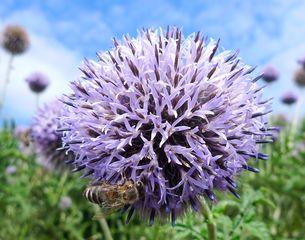 Kugelblume #2 - Gewöhnliche Kugelblume, Globularia punctata, Wegerichgewächs