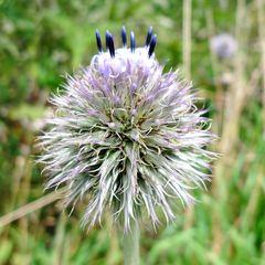 Kugelblume #1 - Gewöhnliche Kugelblume, Globularia punctata, Wegerichgewächs