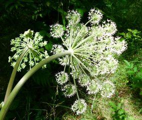 Waldengelwurz #2 - Angelica silvestris, Doppeldolde, Waldengelwurz, Doldenblütler, Apiaceae