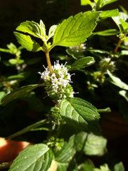 Ingwerminze - Minze, Ingwerminze, Blüte, Lippenblütengewächs, Gewürzpflanze, Tee