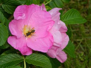 Heckenrose Blüte - Heckenrose, rosa, Wespe, Hagebutte, Frucht, Früchte, Fruchtstand, rot, Herbst, Hundsrose, Rosa canina, Beere, Sammelfrucht, Juckpulver, Tee
