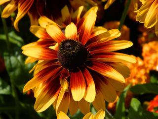 Rudbeckien#1 - Rudbeckien, Korbblütler, orange, gelb, Rudbeckia hirta, Zierplanze, Gartenpflanze, schwarzäugige Rudbeckie