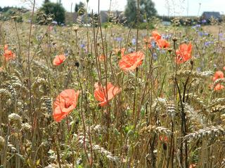 Mohnblumen im Weizenfeld #1 - Mohn, Mohnblume, Weizen, Weizenfeld, Kornblume, Feld, rot, blau