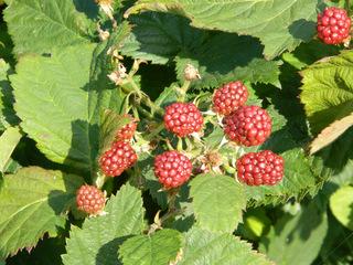 Brombeeren  - Brombeere, Beere, Strauch, Frucht, Blätter, Rosengewächs, Heilpflanze, Stacheln, Kletterpflanze, Garten, unreif