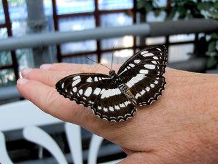Schwarzbrauner Trauerfalter - Schmetterling, Tagfalter, Edelfalter, Trauerfalter, Asien, Österreich
