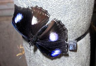 Hypolimnas misippus (Danaid Eggfly) - Schmetterling, Tagfalter, Edelfalter, Afrika