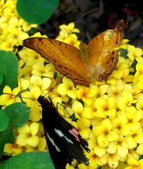 Rostroter Fleckenfalter - Rostrot, Fleckenfalter, Segler, Edelfalter, Schmetterling
