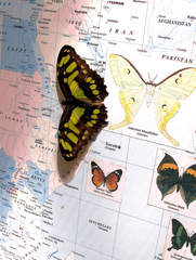 Malachit  - Siproeta stelenes, Malachit, Bambuspage, Edelfalter, Schmetterling, Südamerika