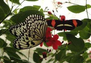 Schmetterling:  Postmann-Falter u. Weiße Baumnymphe - Schmetterling, Schmetterlinge, Tagfalter, Edelfalter, fliegen, Schmetterlingspark, tropische Insekten