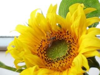 Schwebfliege auf der Sonnenblumenblüte - Sonnenblume, Schwebfliege, Fliege, fliegen, Blume, Blüte