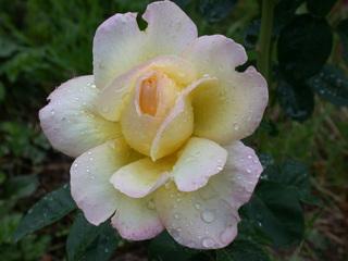 Rose - Biologie, Pflanzen, Blumen, Rose, rosa, Tau, Blüte, blühen, Tropfen