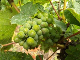 Weintrauben - Wein, Traube, Wein, Weinlese, Weinreben, Rebe, Landwirtschaft, Weinbau, Trauben, Weintrauben