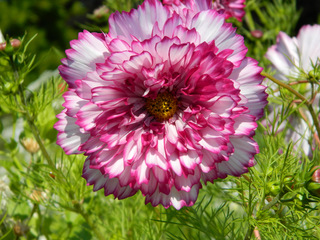 Cosmea-Blüte - Cosmea, Schmuckkörbchen, Korbblütler, gefüllt, Fiederblättrige Schmuckblume, Kosmee, Zierpflanze