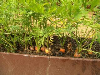 Karotten im Blumenkasten - Karotte, Karotten, Möhre, Möhren, Mohrrübe, Gelbe Rübe, Ruebli, Gemüse, Wurzelgemüse, Heilpflanze
