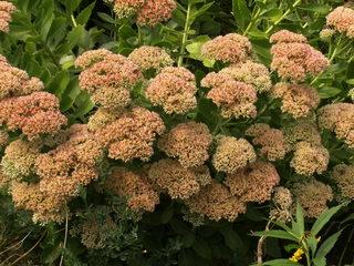 Große Fetthenne#2 - Fetthenne, Sukkulent, Dickblattgewächs, Staude, Zierpflanze, Bienenfütterpflanze