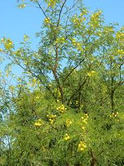 Mimose#1 - Baum, Silber-Akazie, Falsche Mimose, gelb, Acacia dealbata, Akaziengewächs, Blüten, Frühling