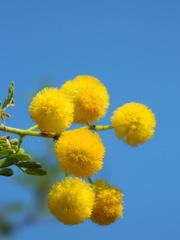 Mimose#3 - Baum, Silber-Akazie, Falsche Mimose, gelb, Acacia dealbata, Akaziengewächs, Blüten, Frühling