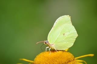 Zitronenfalter  - Schmetterling, Falter, Zitronenfalter, gelb, Blüte, Nahrung