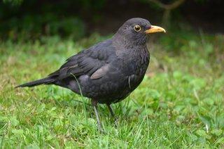 Amsel - Nahaufnahme - Amsel, Vogel, schwarz, gelb, Garten, Männchen