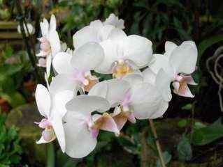 Orchidee #3 - Orchidee, Orchideen, Blüte, Blüten, Blütenstand, weiß, rosa, Pflanze, Pflanzen, Blume, Blumen, Phalaenopsis