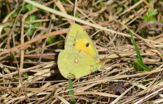 Schmetterling Postillion - Schmetterling, Falter, Tagfalter, Postillion, Wander-Gelbling, Colias croceus, Pieridae, Weißlinge