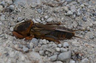europäische Maulwurfsgrille - Gryllotalpa gryllotalpa, Insekten, Insekt, Geradflügler, Maulwurfsgrille, Werre