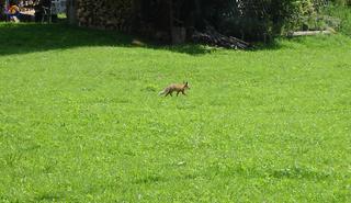 Fuchs - Fuchs, Wiese, Mittag, Garten, Rotfuchs, Reineke