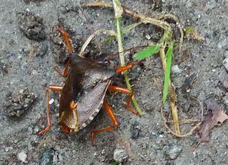 Wanze - Wanze, Blattwanze, Baumwanze, Schnabelkerfe, schildförmig, Heteroptera, Pentatomidae, Pentatoma rufipes