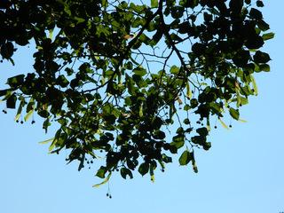 Linde - Baum, Linde, Lindenbaum, Laubbaum, Tilia, Frucht, Fruchtstände, Blätter