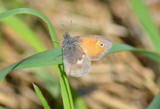 Schmetterling Kleines Wiesenvögelchen - Schmetterling, Wiesenvögelchen, Falter, Tagfalter, Coenonympha pamphilus, Kleiner Heufalter, Nymphalidae, Augenfalter, Satyrinae