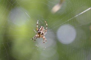 Kreuzspinne - Kreuzspinne, Araneus, Radnetzspinne, Spinnentiere, Arachnida, Webspinnen, Araneae, Kreuz