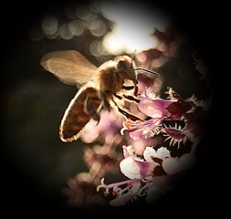 Im Anflug - fliegen, Biene, Basilikum, Insekt, Blüte, Hautflügler, sammeln