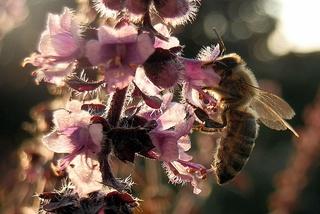 Biene an Basilikumblüte - Biene, Basilikum, Insekt, Blüte, Hautflügler, sammeln, fliegen