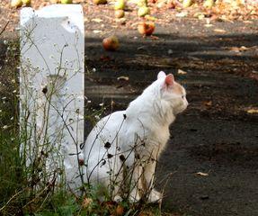 Katze #1 - Katze, Hauskatze, weiss, Haustier, Pose, posieren