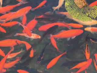 Goldfische im Teich #2 - Goldfische, Goldfisch, Fisch, Teich, Gewässer, Schwarm, Biotop, gold, rot, viele