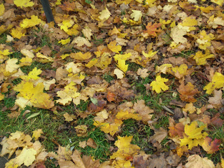 Herbstlaub - Herbst, Blätter, Laub, Ahorn, bunt, Herbstlaub