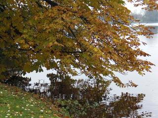 Herbstliche Kastanie - Herbst, Kastanie, Baum, Laubbaum, Blatt, Blätter, Laub, bunt, See, Wasser, Spiegelung