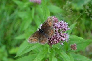 Graubindiger Mohrenfalter - Mohrenfalter, Schmetterling, Falter, Erebia aethiops, Waldteufel, Nymphalidae, Satyridae, Augenfalter