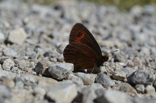 Graubindiger Mohrenfalter - Unterseite - Mohrenfalter, Schmetterling, Falter, Erebia aethiops, Waldteufel, Nymphalidae, Satyridae, Augenfalter