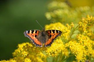 Schmetterling Kleiner Fuchs - Schmetterling, Kleiner Fuchs, Edelfalter, Nymphalidae, Aglais urticae, Falter, Tagfalter