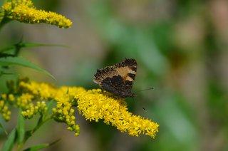Schmetterling Kleiner Fuchs - Unterseite - Schmetterling, Kleiner Fuchs, Edelfalter, Nymphalidae, Aglais urticae, Falter, Tagfalter