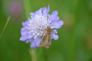 Acker-Witwenblume mit Nachtfalter - Acker-Witwenblume, Knautia arvensis, Wiesen-Witwenblume, Nähkisselchen, Wiesenskabiose Kardengewächse, Dipsacoideae, Falter, Nachtfalter, Schmetterling