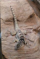 Wüstenleguan - Wüstenleguan, Leguan, Kamm, Schuppen, schuppig, Kriechtier, Schuppenkriechtier, Reptil, hitzetolerant, Terrarium